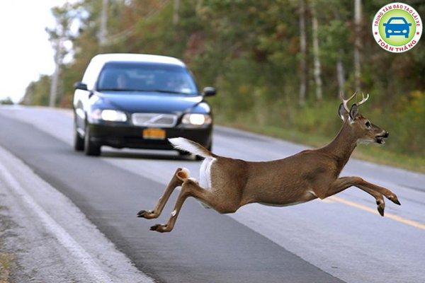 Xử lý khi có động vật qua đường